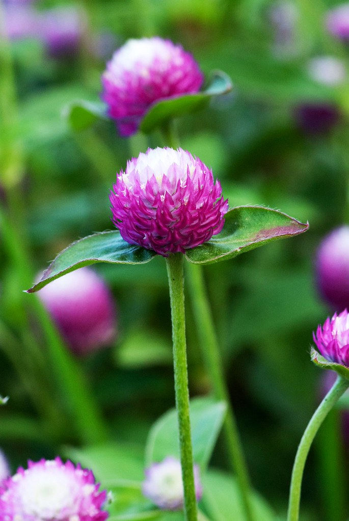 Gomphrena Quot Bicolor Rose Quot One Of The Gomphrena Varieties