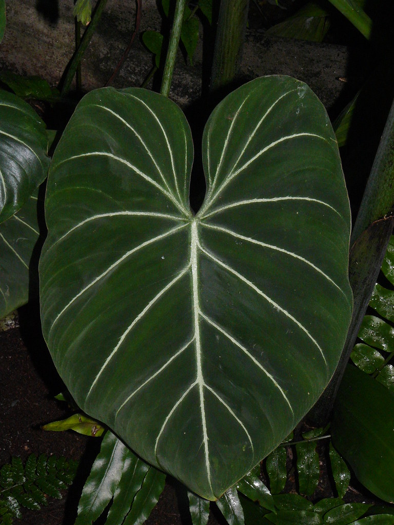 Philodendron Gloriosum The Philodendron Gloriosum Is A