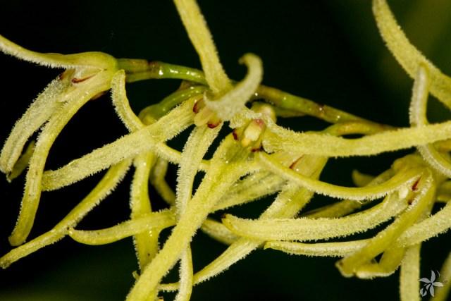 Pleurothallis sclerophylla