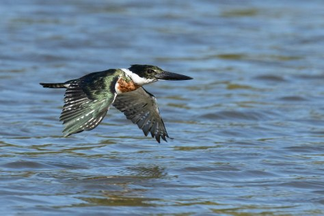 Image result for amazon kingfishers