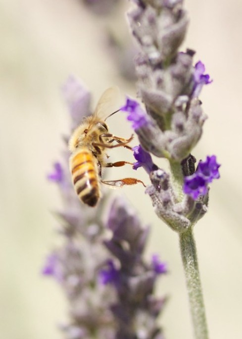 Honey Bee and Goodwin Creek Lavender