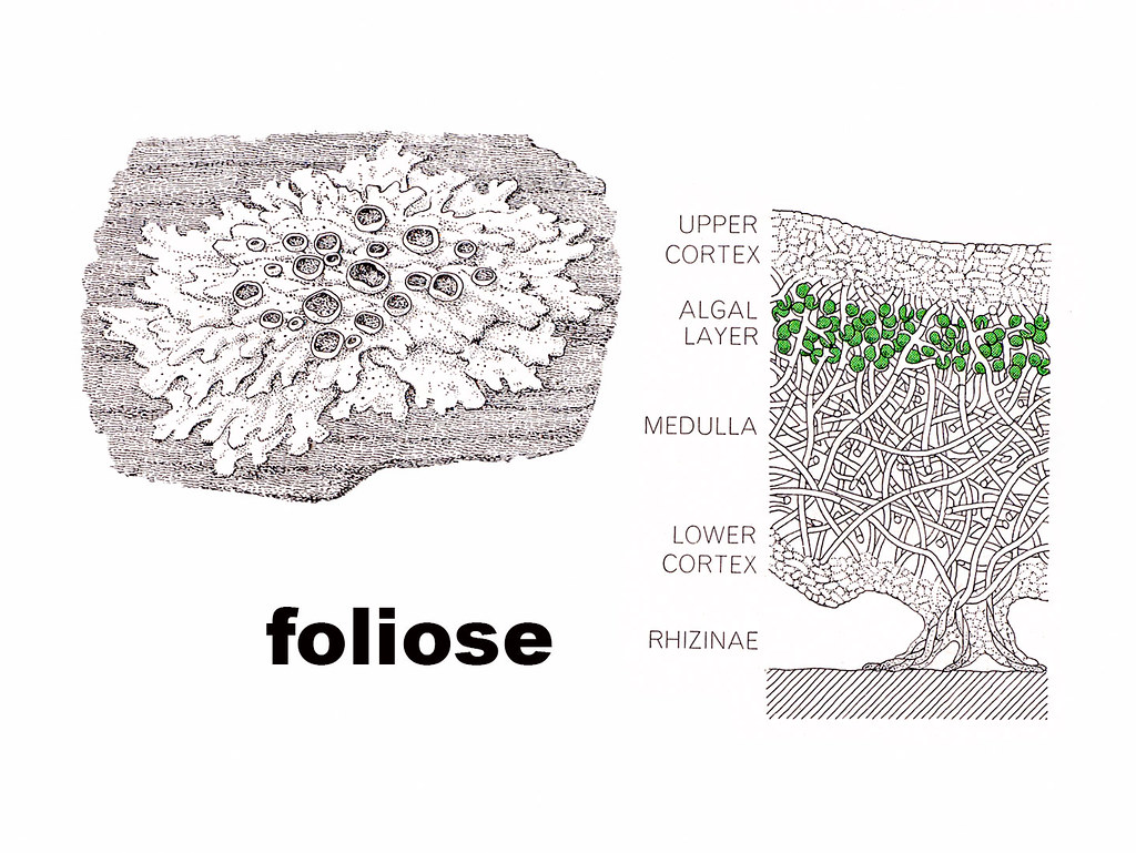 Foliose Diagram
