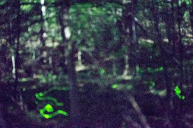 Blue Ghost Fireflies-6