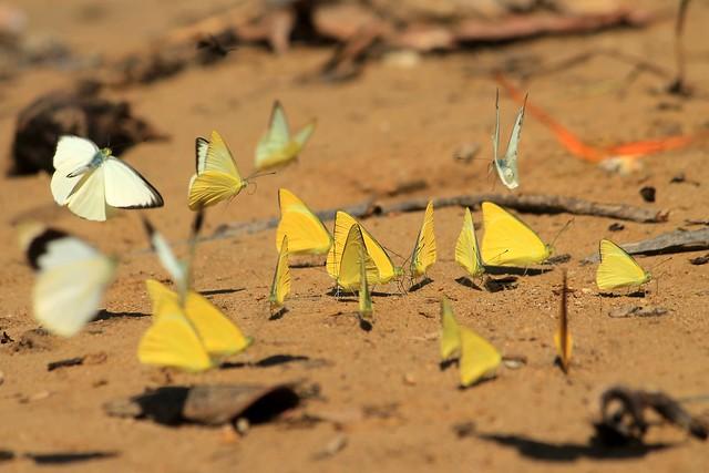 Butterflies at Petang River