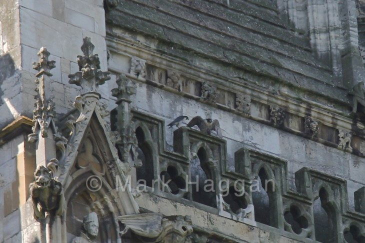 The peregrine falcons at York Minster