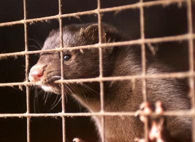 Image result for mink fur farming