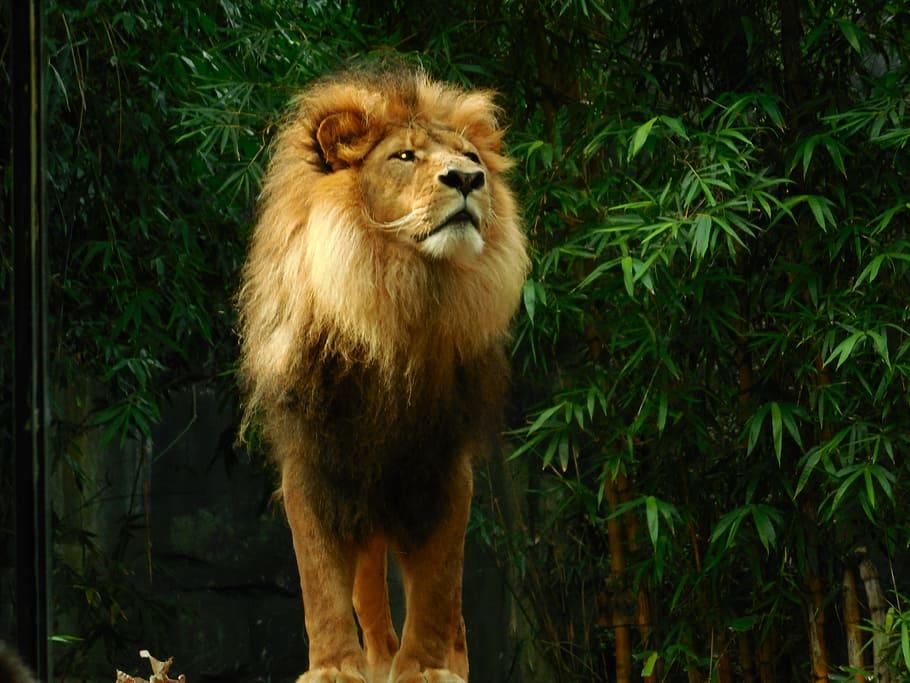 Hd Wallpaper Lion Standing Lion Lion Lion King King Animal Wildlife Wallpaper Flare