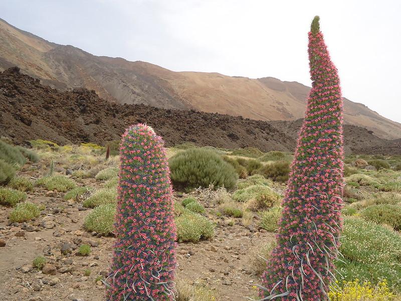 Tajinaste en el Teide