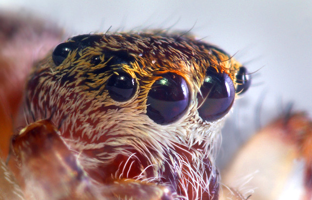 Eyes Of A 3mm Jumping Spider This Photo And The Other