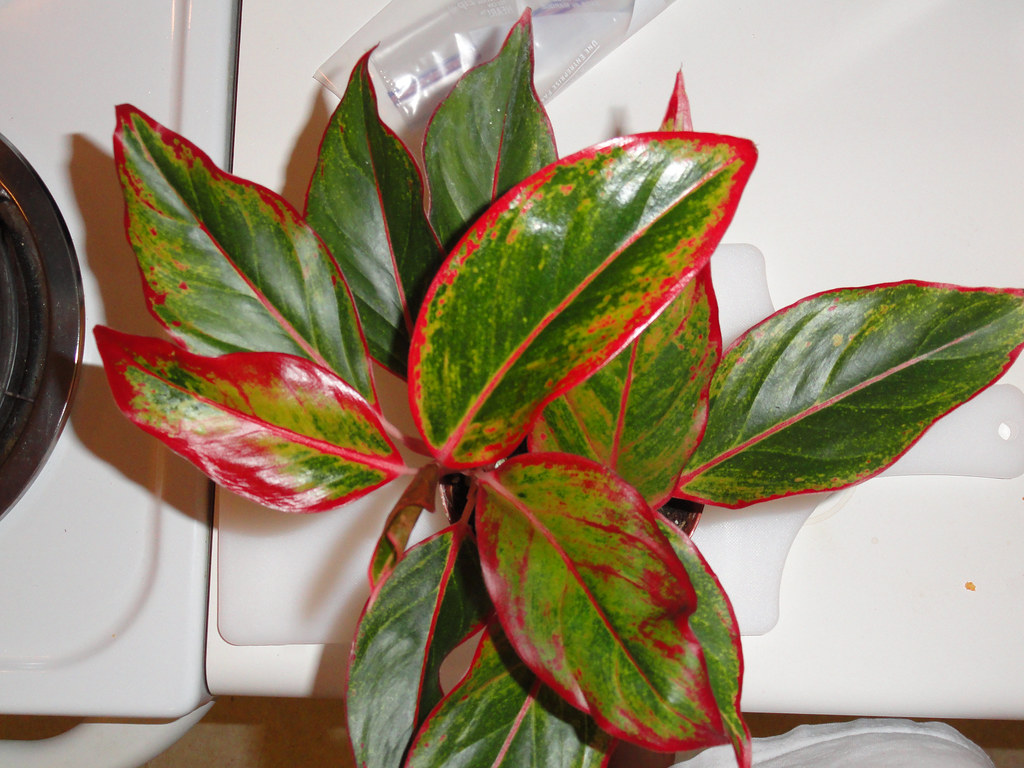 Aglaonema Quot Red Gold Quot Aglaonema Quot Red Gold Quot Chinese