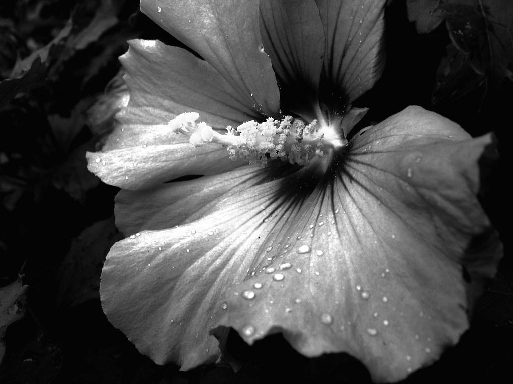 Yet Another Grayscale Flower Was In Schwetzingen