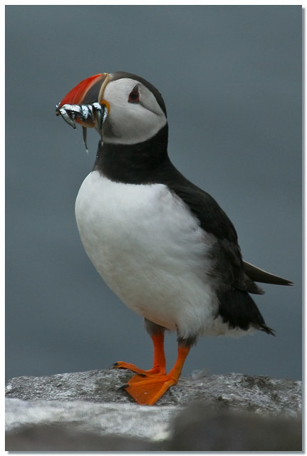 A Puffin From The Farne Islands Macareux Moine View