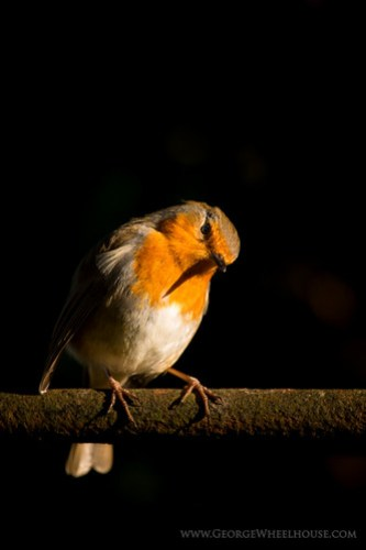 Robin photographed in low light, on a black background