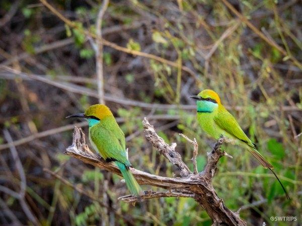 A Couple Green Bee Eater - Yala, Sri Lanka.jpg