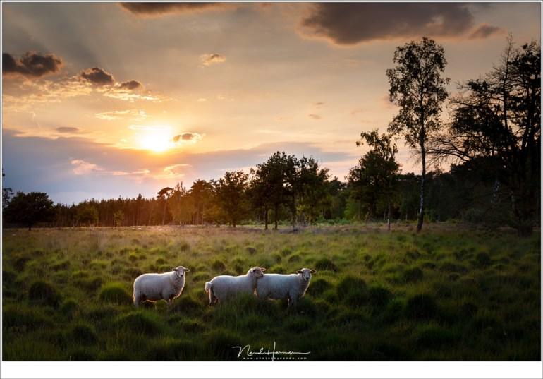 Schapen op de Strabrechtse Heide (Leica SL + 24-90mm @ 53mm   ISO50   f/8   1/100)