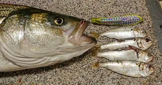 Photo of striped bass with smaller fish