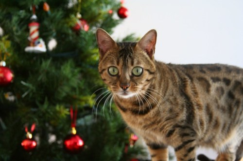 Are you thinking of giving someone the gift of cat adoption this Christmas? Keep reading for 5 tips on how to make sure your gift is a successful one.