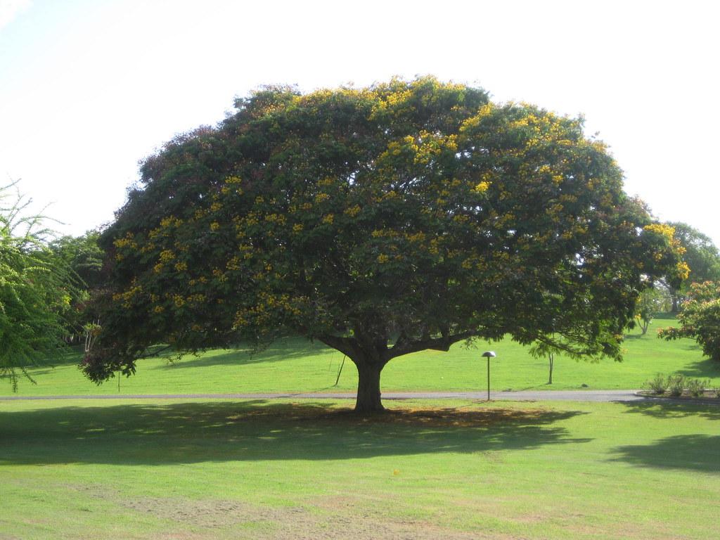 108 Lignum Vitae Rfectly Beautiful Tree