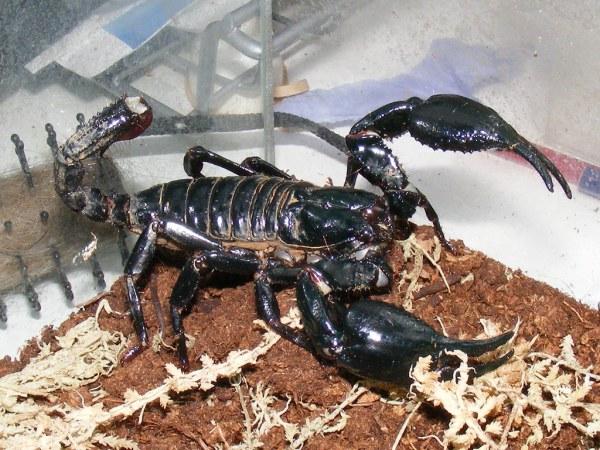 Giant indonesian blue forest scorpion Heterometrus longim