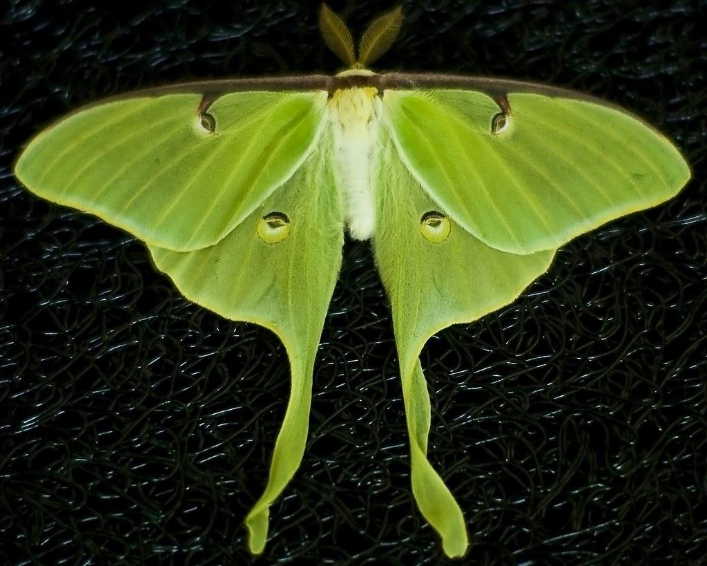 Luna Moth We Have Six Luna Moth Cocoons The First