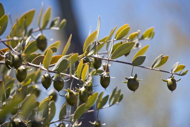 Seeds on a Female Jojoba Bush