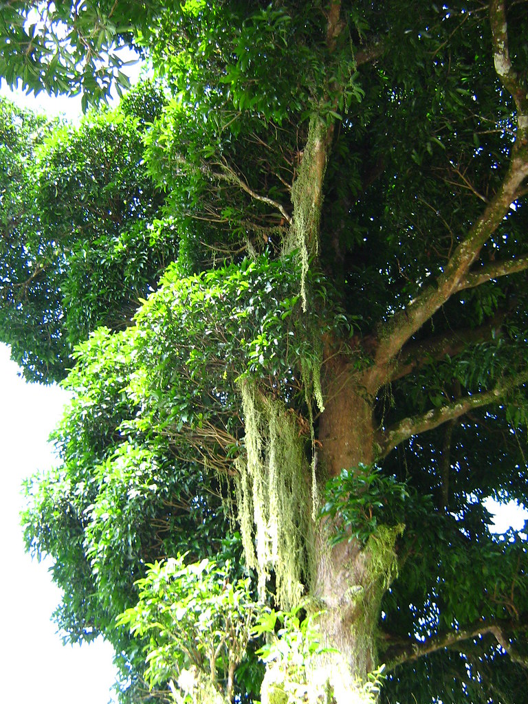 Biggest Mango Tree This Is The Biggest Amp Tallest Mango