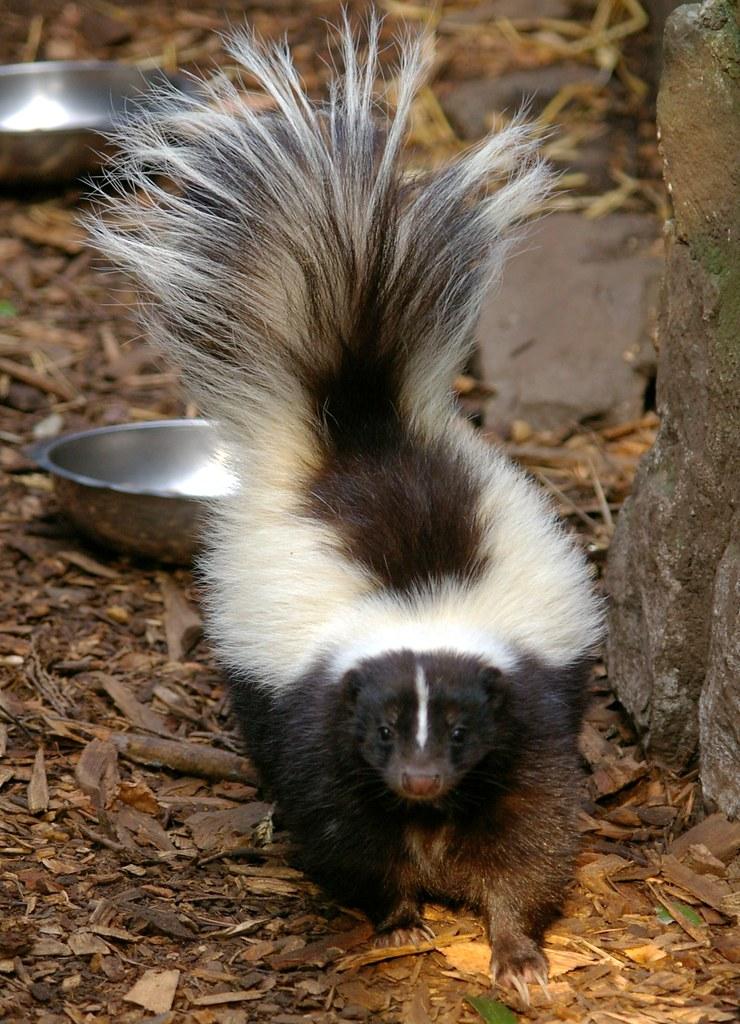 Stinkdier Skunk Dierenpark De Oliemeulen Explore 42