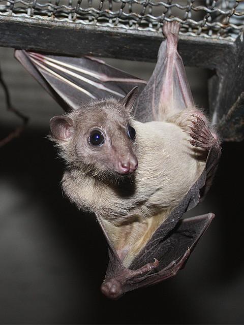 Nilflughund Egyptian Fruit Bat Rousettus Aegyptiacus