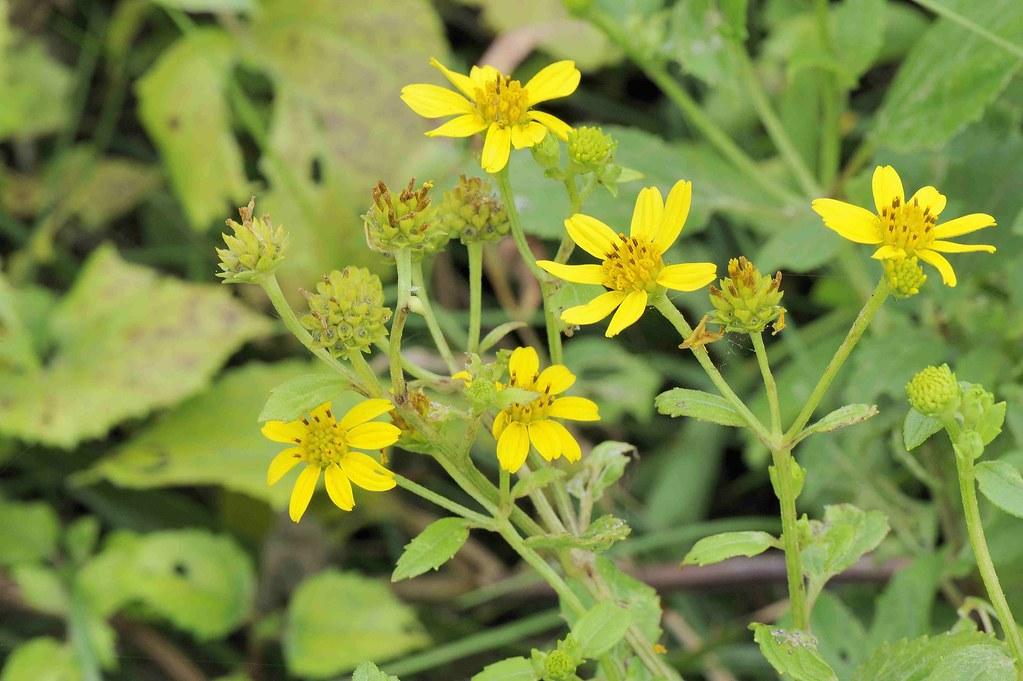菊科 蟛蜞菊屬 雙花蟛蜞菊 (花) 野柳 Wedelia biflora var. biflora | 翁明毅 | Flickr
