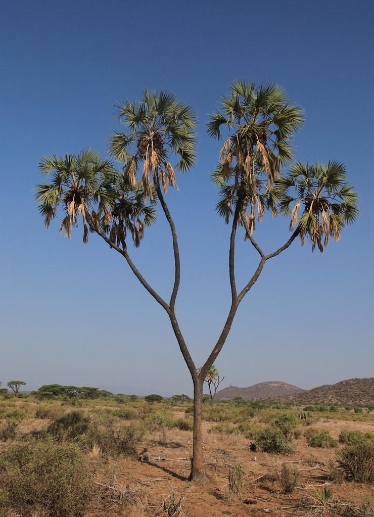 Doum Palm Tree Kenya May 2009 Ferdinand Reus Flickr