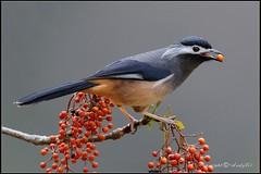 臺灣鳥類網路圖鑑-Taiwan BirdList 線上鳥類圖鑑 臺灣野鳥圖鑑-常見鳥種