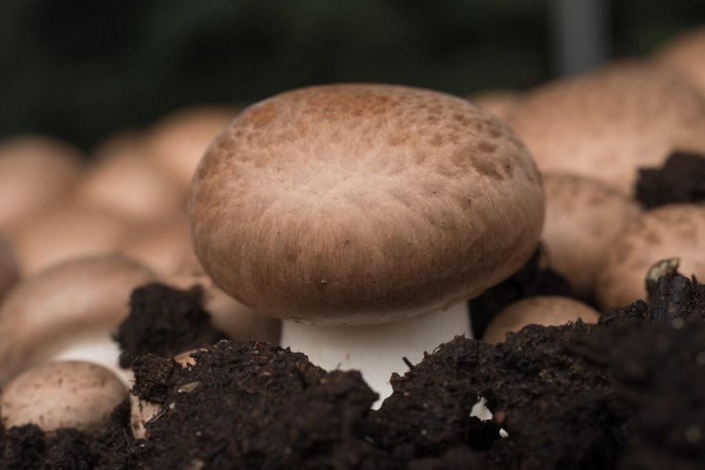 What are Crimini Mushrooms
