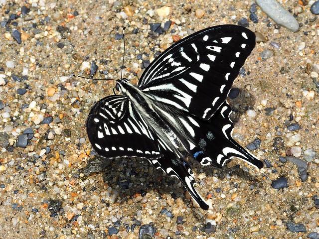 Asian swallowtail butterfly (Papilio xuthus, アゲハ)