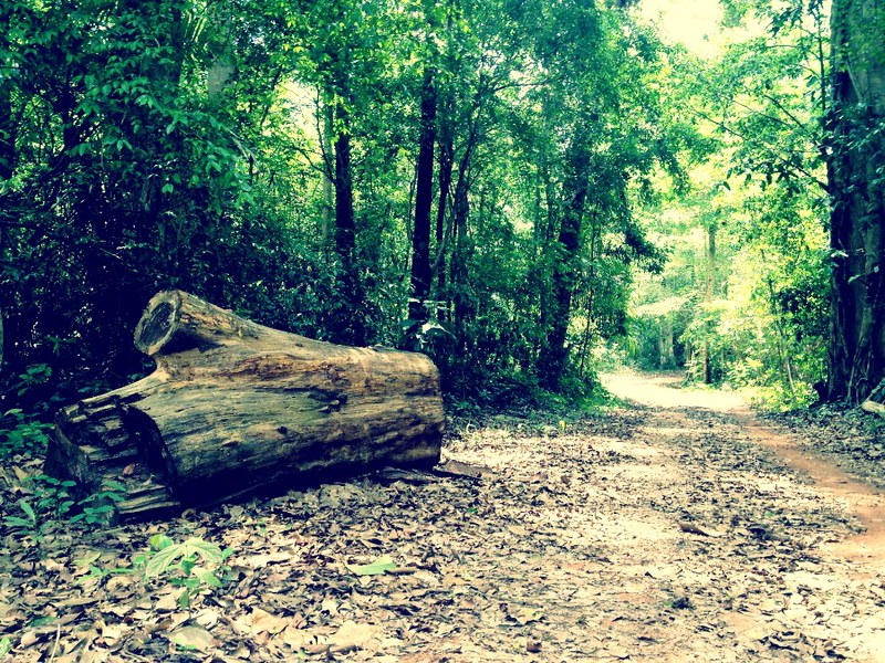 huge log by side of pretty forest road in cat tien national park