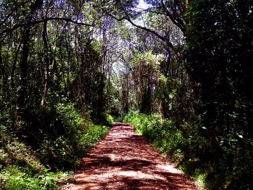 δάσος στο ορος κιλιμαντζαρο