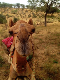 camel face looking straight to camera in thar desert