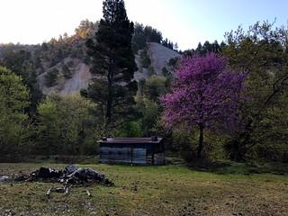 bloomed judas tree - ανθισμένη κουτσουπιά στον πυξαριά ευβοίας