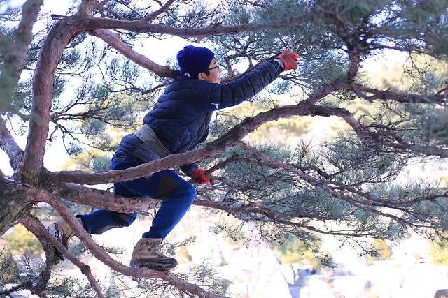 A volunteer worker in Wolmyeongdong prunes a pine tree