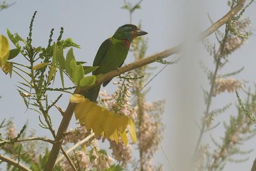 【Video】五色鳥來敲窗。赤腰燕找新家