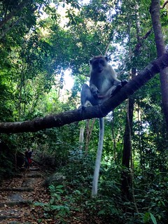 monkey standing on a branch over trail in penang national park
