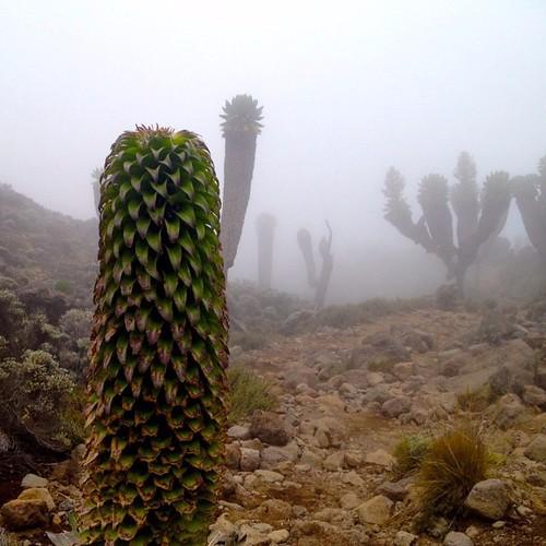 Λοβέλια και σενέκια μέσα από την ομίχλη στο ορος κιλιμαντζαρο
