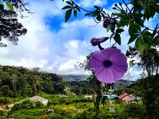 morning glory flower in cameron highlands