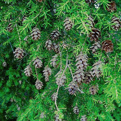 hemlock with cones
