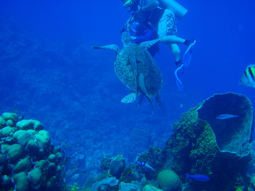 Green Sea Turtle With Remora 2