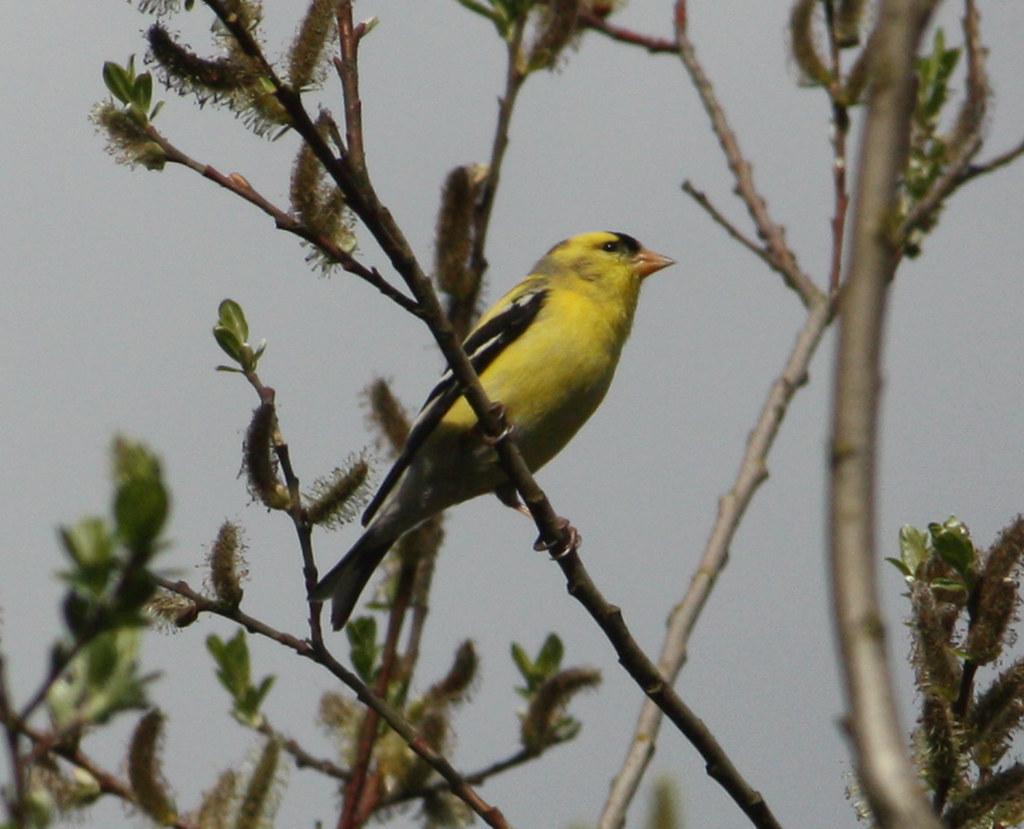 Washington S State Bird Gold Finch