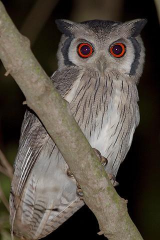 White Faced Scops Owl Otus Leucotis Published In The
