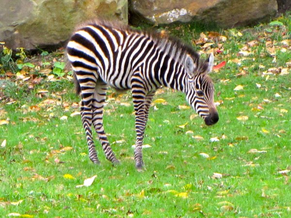 Baby Grants Zebra Class Mammalia Order Perissodactyla