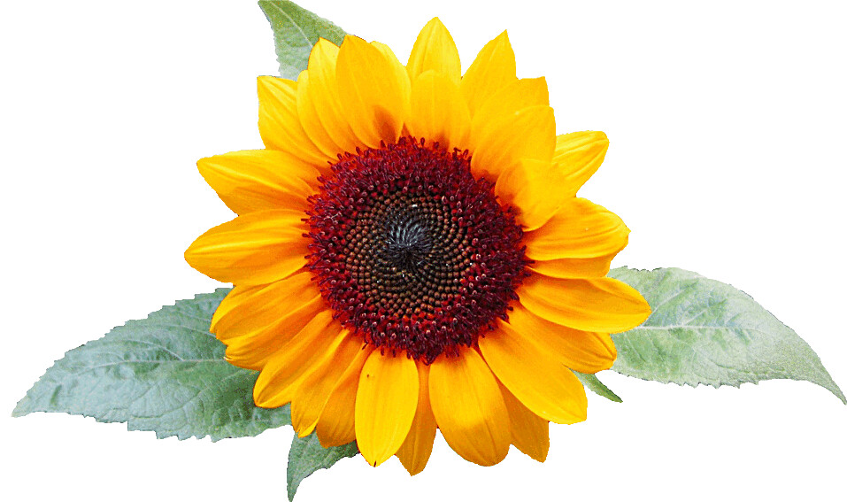 Sunflower With Leaves Clipart Lge 13 Cm Wide This