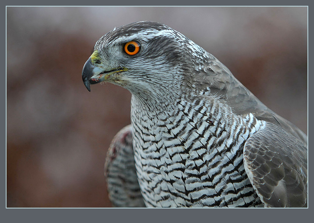 Natural Born Killer A Large Female Northern Goshawk