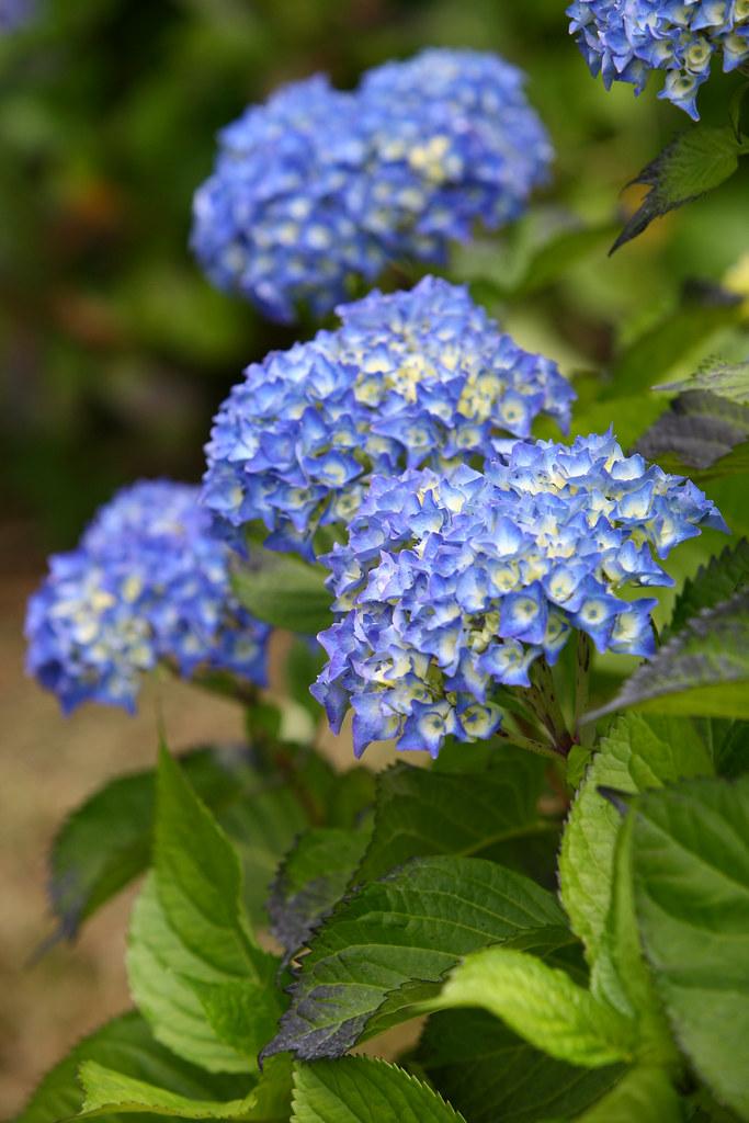 Periwinkle Blue Hydrangea Wedding Bouquet Periwinkle